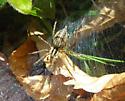 Agelenidae? - Agelenopsis