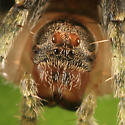 Orb Weaver - Ocrepeira ectypa