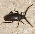 Giant beetle flying at dusk - Prionus californicus - male