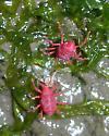 Shore-line predator mites - Neomolgus littoralis
