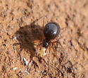 Adult female spider - linyphiid? - Coreorgonal monoceros - female