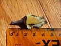Tiny Beetle? - Attagenus fasciatus