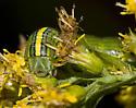 Goldenrod Hooded Owlet Moth larva - Cucullia asteroides