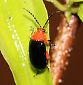 Red Headed Beetle - Asphaera lustrans