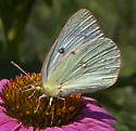Cream Butterfly - Colias - female