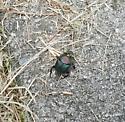 Seen in my yard - Phanaeus