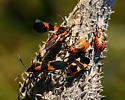 Large Milk Weed Bugs & Nymphs - Oncopeltus fasciatus