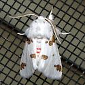 Three-spotted Specter - Hodges #8142 - Euerythra trimaculata - male