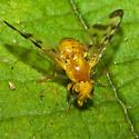 Small Golden Fly - Trypeta flaveola