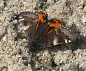 Butterfly - Archiearis infans