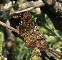 MacNeill's Sootywing Skipper - Hesperopsis gracielae