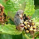 Fly on Lantana - Archytas marmoratus