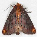 Elder Shoot Borer - Hodges#9520 - Achatodes zeae