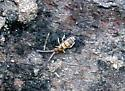 Springtail ID Request - Homidia sauteri