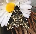 Large moth. Underwing possibly? - Manduca rustica
