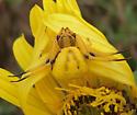 Yellow crab spider  - Misumenoides formosipes