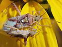 Mating Leatherbugs - Harmostes angustatus - male - female