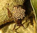 Belostomatidae sp. - Belostoma - male