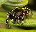 little black and white jumper - Pelegrina aeneola - male