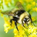 Bombus terricola - Yellow-banded Bumble Bee - Bombus terricola - male