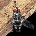 Fly - Winthemia - male