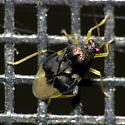 Very Tiny Plant Bug - Pycnoderes dilatatus