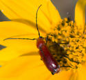 Unknown Beetle - Batyle suturalis