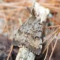 big antennae moth - Lymantria dispar