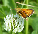 Waterton Lakes Skipper - Thymelicus lineola