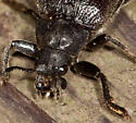 Porch floor beetle - Sandalus