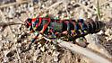 Dactylotum bicolor - female