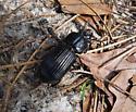 Horned Passalus (Odontotaenius disjunctus) ? - Odontotaenius disjunctus