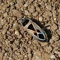 Med. seed bug - Xanthochilus saturnius
