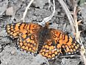 Orange Eagle Butte Butterfly