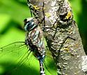 Aeshna canadensis - male