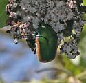 Beetle?? - Cotinis mutabilis