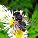 Megachile mendica? - Megachile mendica