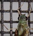Mayfly in July - Callibaetis