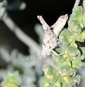 Desert Long-horned Grasshopper?  - Tanaocerus koebelei - female