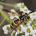 Wasp Mimic - Ceriana tridens - female