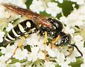 Crabronidae Ant Queen Kidnapping Wasp Aphilanthops frigidus  - Aphilanthops frigidus - male