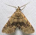 Brown moth - Idia denticulalis