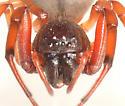 Trachelus tranquillus - Trachelas tranquillus - female