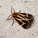 Banded or Harnessed Tiger Moth? - Apantesis vittata