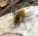 bee fly - Systoechus? - Systoechus - female