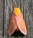 Moth on the shed wall - Anisota senatoria