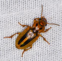 small golden beetle with black marks - Stenolophus lineola
