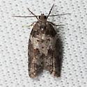 Unknown Tortricid Moth from Laurelwood Park, San Mateo, CA - Acleris gloveranus