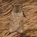 Noctuid - Richia chortalis