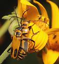 Goldenrod Soldier Beetles, dorsal - Chauliognathus pensylvanicus - male - female